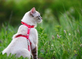 mačka na povodcu
