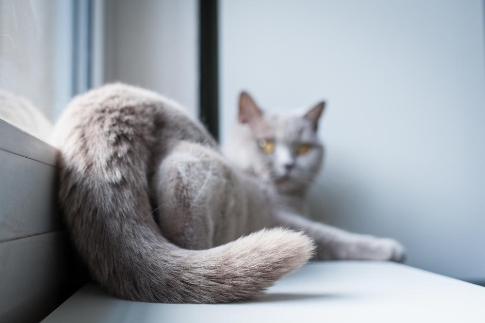 Za mačke je rep eden ključnihdelov telesa, ki jim pomaga pri gibanju, komunikaciji in lovljenju ravnotežja.