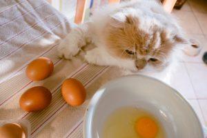 7 tipov človeške hrane, ki jih lahko uživajo tudi mačke - kuhana jajca