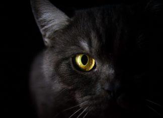 Ali mačke vidijo v temi - mačje oči