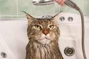 Mačke ne marajo vode, zelo rade pa se poigrajo s curkom tekoče vode.