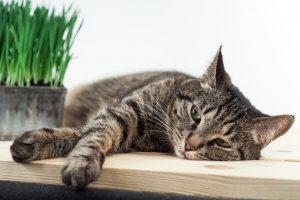 Pri prebavnih motnjah je podobno, kakor pri izgubi apetita – lahko so znak tisoč in ene težave. Če ima mačka denimo občasno drisko, ni to nič nenavadnega. Najbrž je samo pojedla kaj, kar ji ni ustrezalo. Če pa so motnje pogoste in se celo stopnjujejo, je pa najverjetneje razlog v kakšni zdravstveni težavi.