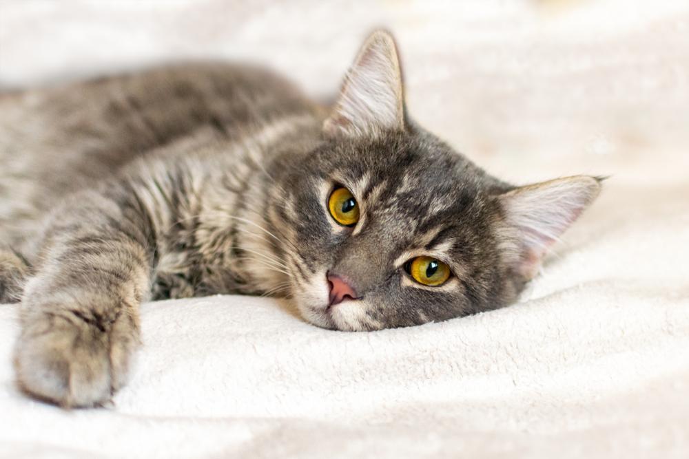 Izguba apetita je eden najpogostejših simptomov raka pri mačkah. Nekatere mačke so že same po sebi manj ješče, kar ni nič nenavadnega. Bolj je zaskrbljujoče, če ima mačka navadno apetit, nato pa ga kar naenkrat izgubi.