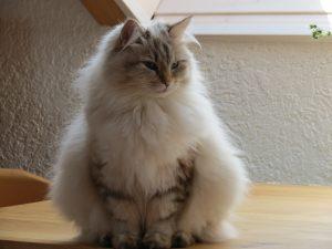 Zelo dobro se pozanimajte, če jo lahko res sprejmete v svoj dom in nikakor se ne zanašajte, da ne boste imeli alergijske reakcije samo zaradi pasme. Na sliki je sibirska mačka.