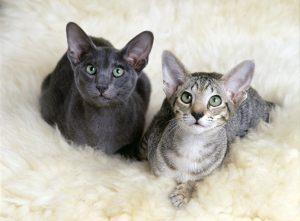 Najpogosteje je pri alergiji problem v proteinu Fel D1, ki ga najdemo v slini mačke. Žival se umiva tako, da si liže dlako, ta dlaka pa potem sproži alergijsko reakcijo. Na sliki je kratkodlaka orientalska mačka.