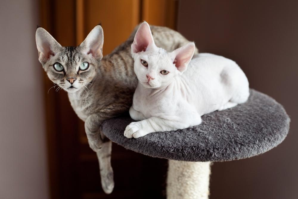 Obstajajo mačke, pri katerih bodo vaše alergijske reakcije bolj blage ali pa jih sploh ne bo. Na sliki je pasma devon rex.