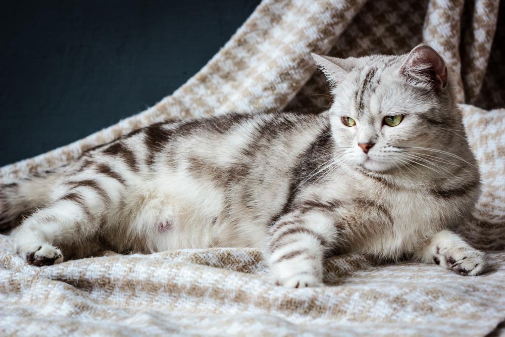 Mačke so uvrščene med poliestrične živali, kar pomeni, da imajo več reprodukcijskih spolnih ciklov v eni sezoni. Zaradi dobre prehrane in notranjega bivanja se gonitve oziroma spolni cikli ponavljajo čez celotno leto in ne le med sezonami.