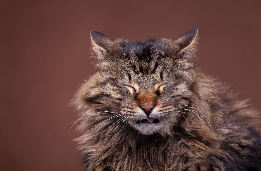 Kihanje pri mačkah je marsikomu izjemno simpatično, a je prav, da veste, zakaj do tega pride in kako ustrezno ukrepati, če je to potrebno. Mačje kihanje je lahko povsem nedolžna zadeva, lahko pa kaže na kakšno obolenje.