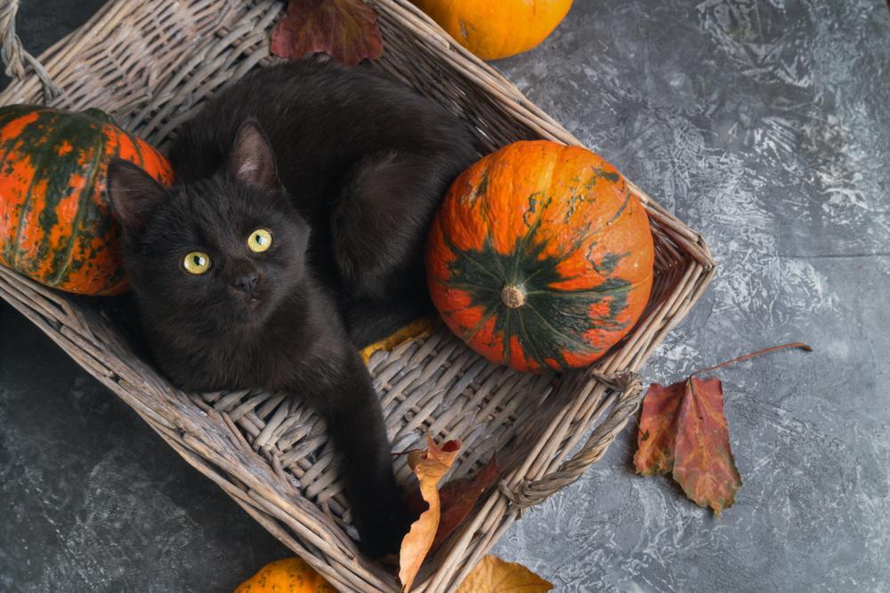 Približuje se noč čarovnic in to je čas, ko so še posebej popularni motivi črnih mačk. Že celo večnost velja mit, da so čarovnice imele ob sebi črne mačke.
