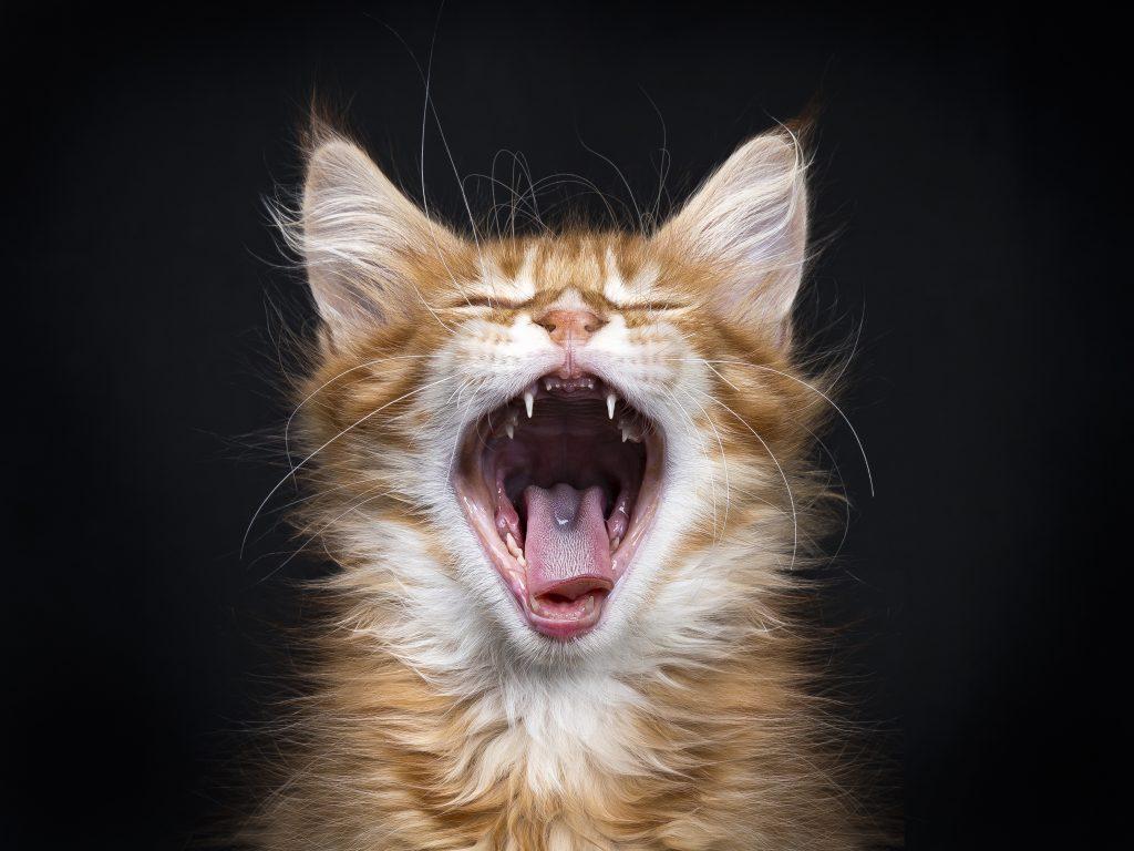 Mačka z odprtimi usti